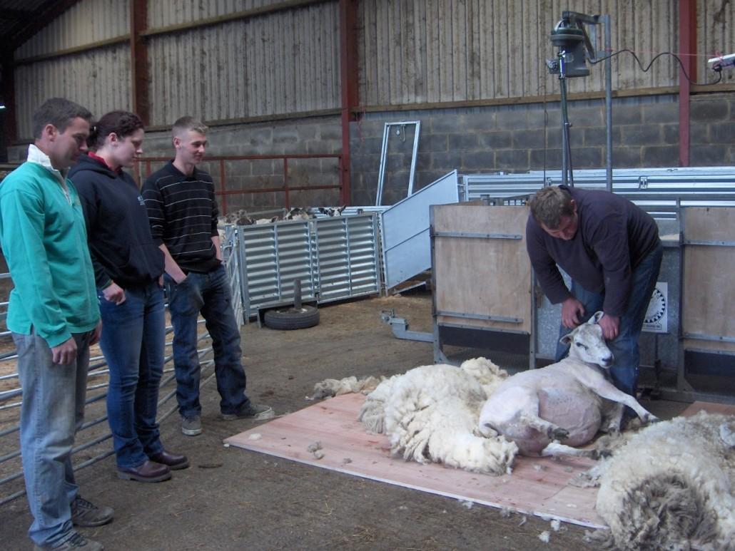 Locality Map project - training - sheep shearing 1
