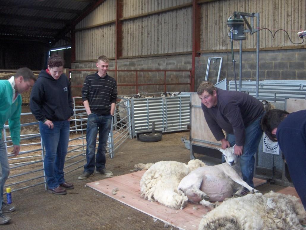 Locality Map project - training - sheep shearing 4