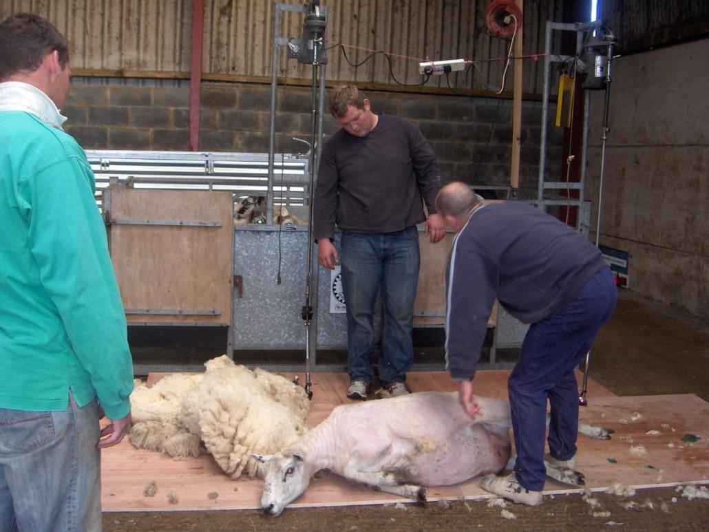 Locality Map project - training - sheep shearing 5